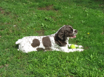 A dark brown and white spotted dog laying in the green grass with a yellow tennis ball